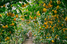 Lemon Orchard. Juicy Fruits Of A Lemon On Green Branches With Leaves In Lemon Garden