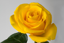 Yellow Rose Flower On White Background With Green Leaves