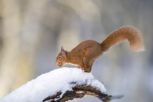 Eurasian Red Squirrel With Nut On Snow-covered Tree Trunk