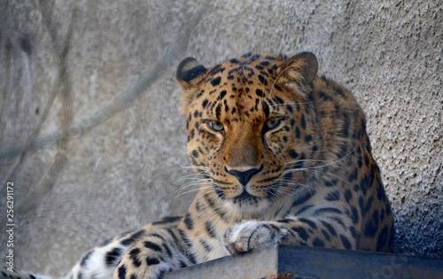 Foto op Aluminium Luipaard portrait of a leopard