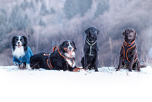 Four Dogs Are Sitting In Snow. There Are Border Collie, Bernese Mountain Dog And Black And Brown Labrador Retriever. It Is Winter Time And Snow Is Everywhere.
