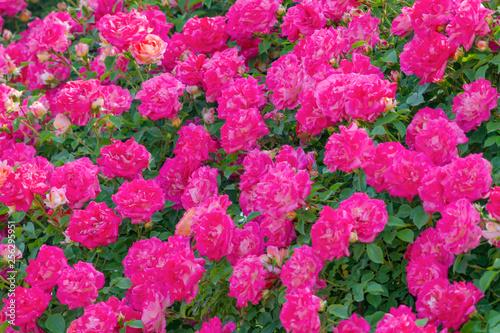 Poster Rose バラの花