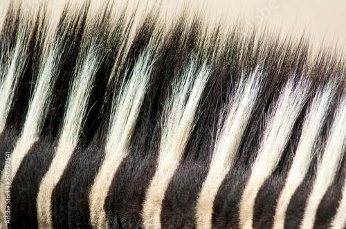 Photo  Detailansicht eines Rückenkamms eines Zebras