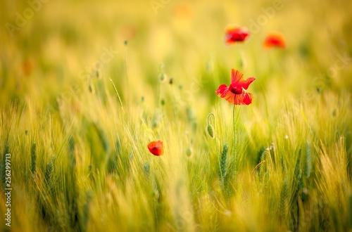 Corn poppy (Papaver rhoeas) in a wheat field, Italy, Europe - 256299713
