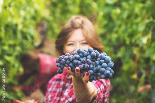 Fotografia Junge Frau bei der weintrauben ernte in weinbergen
