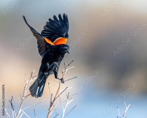 Photo  Red winged blackbird