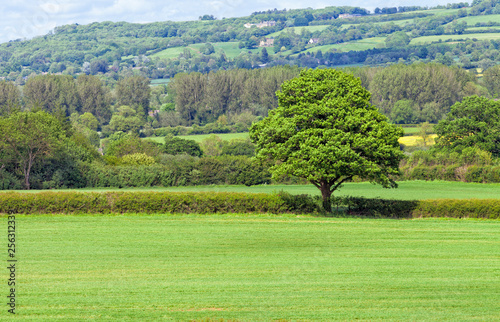 Cuadros en Lienzo Leafy tree in the middle of green farm field, surrounded by hedgerow, woodlands with country houses on a hill, Cotswolds countryside on a summer day