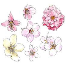 Sakura Flower In Bloom. Cherry...