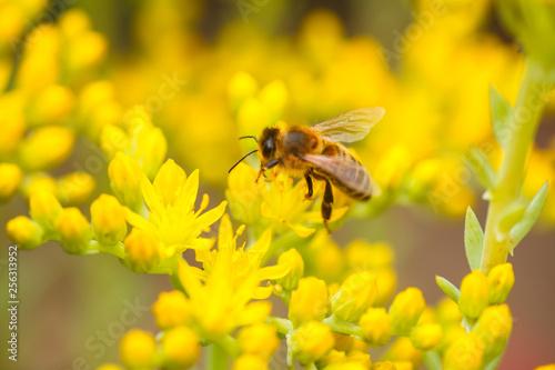 In de dag Bee honeybee collects nectar and pollen from yellow flowers Sedum acre, goldmoss, mossy or biting stonecrop, goldmoss sedum, stonecrop and wallpepper growing in a flowerbed in the garden.