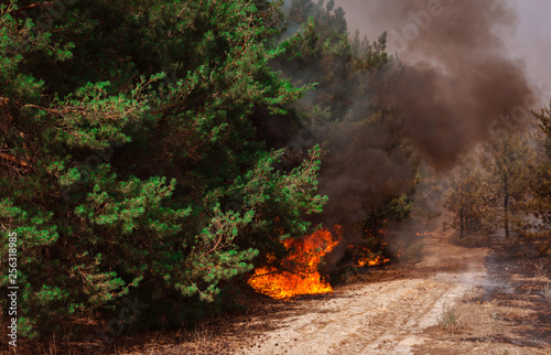 wildfire, burning pine forest . Canvas