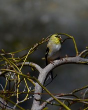 American Goldfinch Winter Colors
