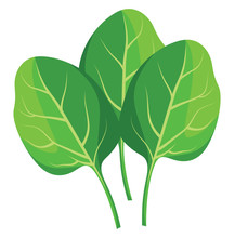 Green Spinach Leafs Vector Illustration Of Vegetables On White Background.