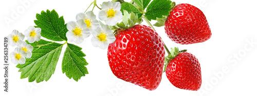 Fototapeta gardening red healthy strawberry obraz