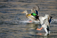 Pair Of Mallard Ducks Landing ...