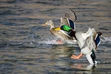 Pair Of Mallard Ducks Landing On The Blue Water