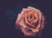 Beautiful Single Rose With Waterdrops On Black Background, Vintage Style