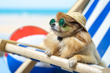 Fototapeta Zwierzęta - Chihuahua dog wearing hats and sunglasses lying in the beach chair. Summer Holidays concept.