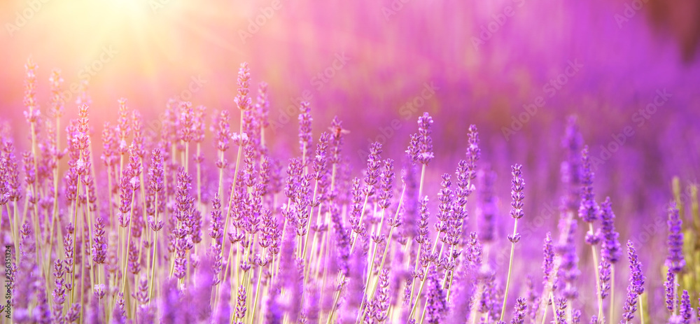Fototapety, obrazy: Lavender field aerial view. Purple lavender garden. Spa essential oil of beautiful herbs.