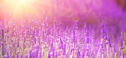 Lavender field aerial view. Purple lavender garden. Spa essential oil of beautiful herbs. - 256351324