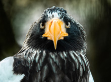 Steller's Sea Eagle Portrait. ...