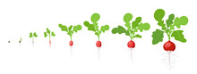 Growth Stages Of Radish Plant....