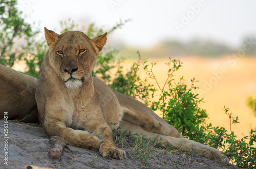 Fotografie, Obraz  Beautifully relaxed African Lioness resting on a large Boulder with the Dry Yellow Parched Plain in the distance