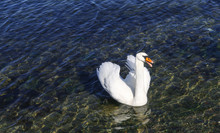 A Lone Swan Is Slowly Swimming...
