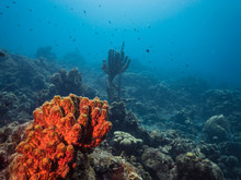 Seascape Of Coral Reef In The Caribbean Sea Around Curacao At Dive Site Playa Piskado With Various Corals And Sponges