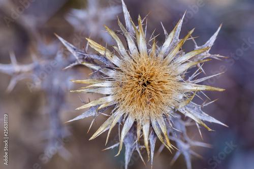 Fotografiet  Detalle flor seca de carlina racemosa