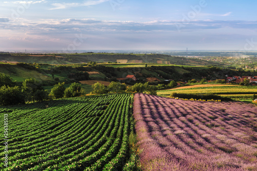 Lavender And Green Bean Fields In Vojvodina Serbia Summer Rural