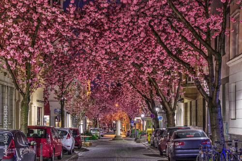 Foto auf Gartenposter Hochrote Kirschblüte in der Bonner Altstadt