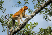 The Rare And Beautiful Single Proboscis Monkey With It's Unique Long Nose  At Bako National Park, Borneo Clambering Up A Branch.