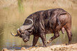 canvas print picture - African buffalo in waterhole in Kruger National park, South Africa ; Specie Syncerus caffer family of Bovidae