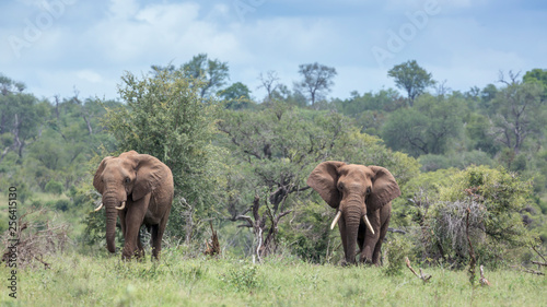 canvas print motiv - PACO COMO : Two African bush elephant walking in green savannah in Kruger National park, South Africa ; Specie Loxodonta africana family of Elephantidae