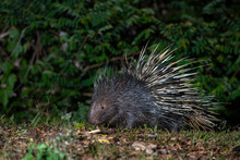 Malayan Porcupine In The Forest