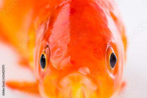 Fish Eye. Gold fish Fototapet
