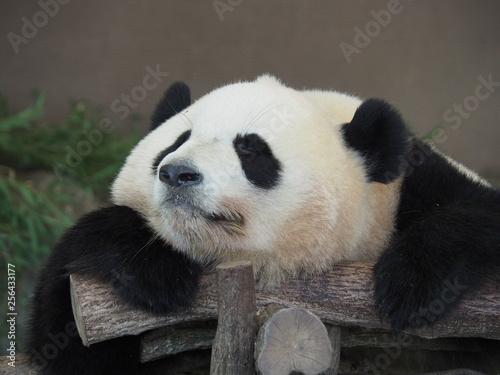 Valokuva  GUTE-PANDA: sleeping giant panda