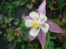 Beautiful Flower Aquatic Or Aquilegia