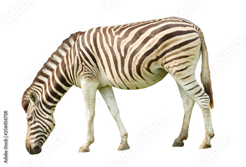 Foto auf Gartenposter Zebra Zebra isolated on white background