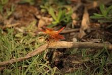 Beautiful Orange Dragonfly