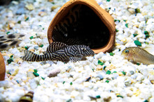 Pretty Pleco Hypancistrus Sp. L333