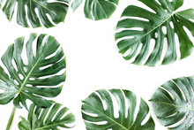 Tropical Palm Leaf Monstera With Dew Drops Isolated On White Background. Flat Lay, Top View