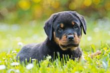 Rottweiler Welpe Puppy Liegt I...