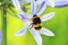Bee Wasp African Agapanthus (A...