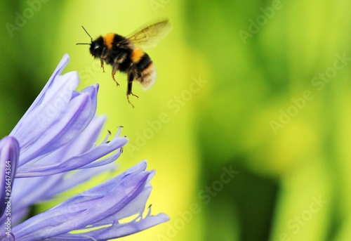 Bumble Bee wasp African agapanthus (Agapathus africanus) with bumble bee Canvas Print