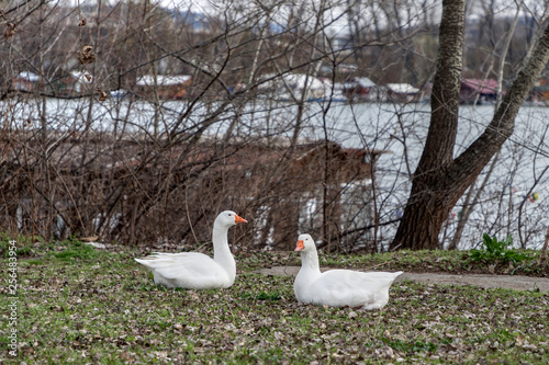 Pair of domestic white geese sitting at the riverside Fototapeta