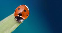 Red Ladybug On Green Leaf, Ladybird Creeps On Stem Of Plant In Spring In Garden Summer