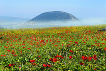 Spring Bloom Of Poppies In Galilee In The Area Of Mount Tabor, Israel
