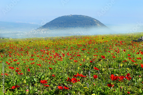 spring bloom of poppies in Galilee in the area of Mount Tabor, Israel - 256486370