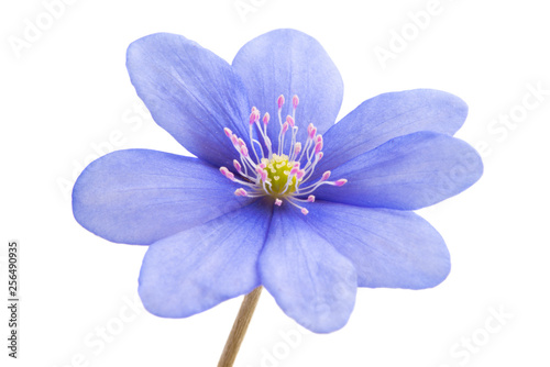 Fotografie, Obraz blue flower isolated